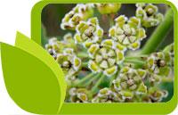 Узара, Xysmalobium undulatum, действие и приложение на билката