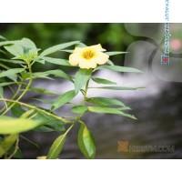 DAMIANA,  (leaf) 1x100 g
